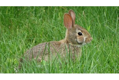 Origin of the disease Myxomatosis